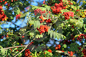 Branch Of A Mountain Ash Royalty Free Stock Photos - Image: 16430478