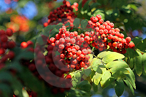 Branch Of A Mountain Ash Royalty Free Stock Images - Image: 16430489