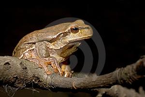 Green Tree Frog (Hyla Arborea) Stock Photo - Image: 16431930