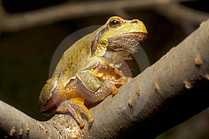Green Tree Frog  (Hyla Arborea) Royalty Free Stock Photo - Image: 16431935