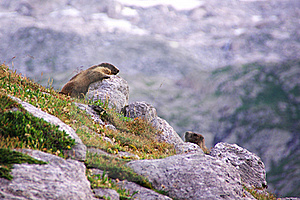 Two Marmots Playing In The Rocks Royalty Free Stock Photography - Image: 16436567