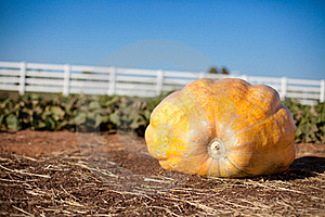 Giant Pumpkin Stock Images - Image: 16441424