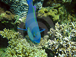 Blue Parrotfish Stock Photography - Image: 16443472