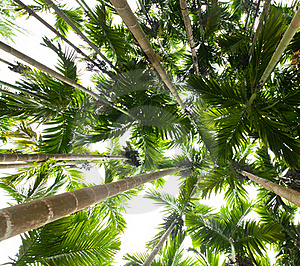 Palm Trees Royalty Free Stock Image - Image: 16444426