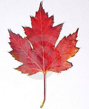 Red Leaf Free Stock Photo