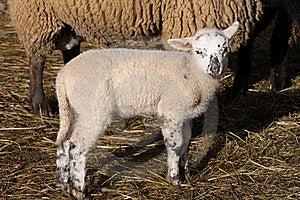 Lamb Stock Photography - Image: 16450042