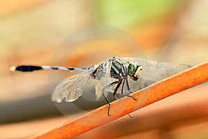 Spotted Dragonfly Detail Stock Photos - Image: 16454333