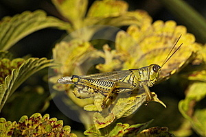 Differential Grasshopper Stock Images - Image: 16459634