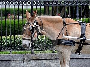 Mula Del Carro Fotografía de archivo libre de regalías - Imagen: 16459757