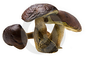 Three Raw Boletus Badius Stock Photo - Image: 16464150