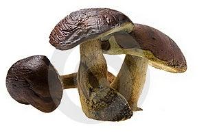 Three Raw Boletus Badius Stock Photo - Image: 16464150