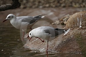 Black-headed Gull Stock Image - Image: 16481201