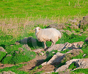 Ram On A Rock In The Middle Of Meadows Royalty Free Stock Images - Image: 16482799
