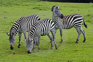 Three Zebras Stock Images - Image: 16482824