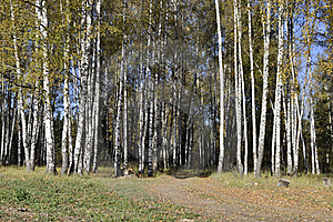 Autumn Birch Forest With Dirt Road Stock Image - Image: 16488851