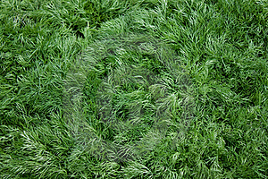 Heap Of Young Green Dill Stock Photo - Image: 16489580