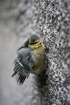 Tit Bird Holding The Wall Royalty Free Stock Photography - Image: 16490667