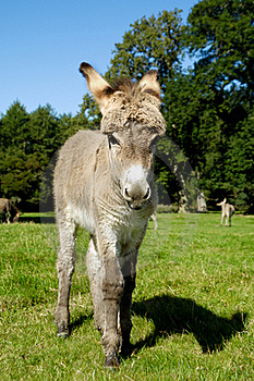 Young Donkey Royalty Free Stock Photo - Image: 16495195