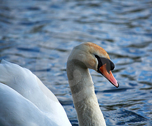 White Swan Side On Stock Images - Image: 1650394