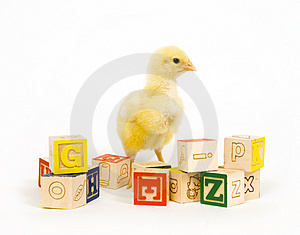 Baby chick and blocks Stock Photo