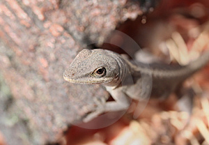 Cautious Lizard Stock Image - Image: 1653931