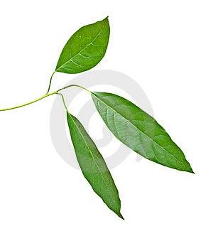 Branch Of Avocado Tree Stock Photos - Image: 16508533