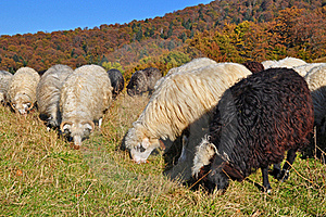 Sheep On A Hillside. Royalty Free Stock Image - Image: 16508726