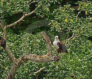 African Fish Eagle On Ambush Stock Image - Image: 16519711