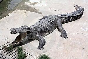 Exploração Agrícola Do Crocodilo Fotos de Stock Royalty Free - Imagem: 16521138