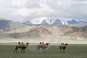 Camels Royalty Free Stock Photo - Image: 16521785