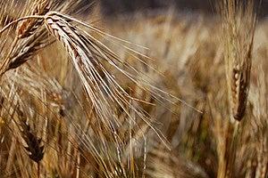 Grain Stock Image - Image: 16522341