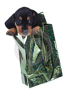 Purebred Puppy Dachshund Stock Photos - Image: 16523053