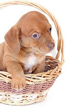 Purebred Puppy Dachshund Royalty Free Stock Image - Image: 16523076