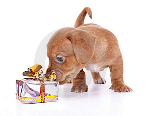 Purebred Puppy Dachshund Stock Photo - Image: 16523080