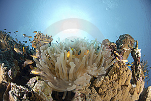 Red Sea Anemonefish Stock Images - Image: 16525134