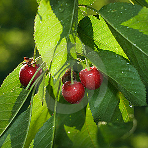 Red Cherry With Leaves Royalty Free Stock Photos - Image: 16529818