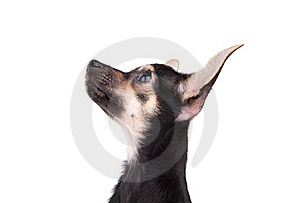 Portrait Of Small Doggy On White Stock Image - Image: 16530211