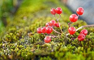 Arrowwood On Moss Royalty Free Stock Photos - Image: 16531968