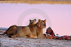 Lionesses (Panthera Leo) At Blue Wildebeest (Conno Stock Images - Image: 16537554