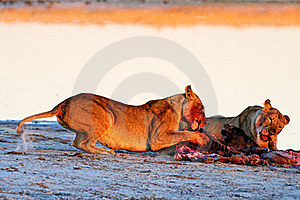 Lionesses (Panthera Leo) At Blue Wildebeest (Conno Royalty Free Stock Photos - Image: 16537578