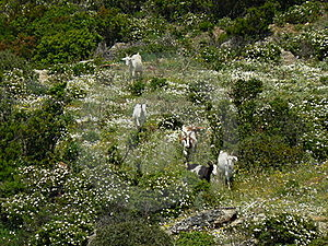 Sardinia Landscape With Goats Stock Photo - Image: 16559850