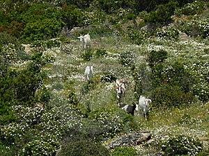 Sardinia Landscape With Goats Stock Photo - Image: 16559850