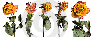 Faded Roses Set Stock Photography - Image: 16561912