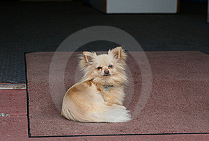 Chihuahua Dog On The Mat Royalty Free Stock Photography - Image: 16573287