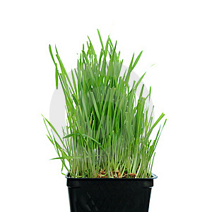 Grass Growing From Roots Stock Photo - Image: 16578430