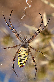 Wasp Spider Royalty Free Stock Photo - Image: 16581825