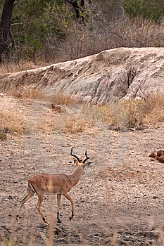 Leopard Stalking Impala Stock Photo - Image: 16584060
