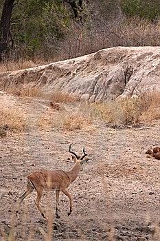 Leopard Stalking Impala Stock Photo - Image: 16584060