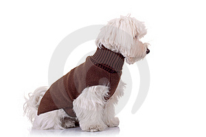 Bichon Maltese Looking To A Side Royalty Free Stock Photo - Image: 16586755