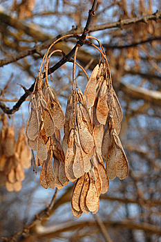 Maple Seed Royalty Free Stock Photo - Image: 16596075